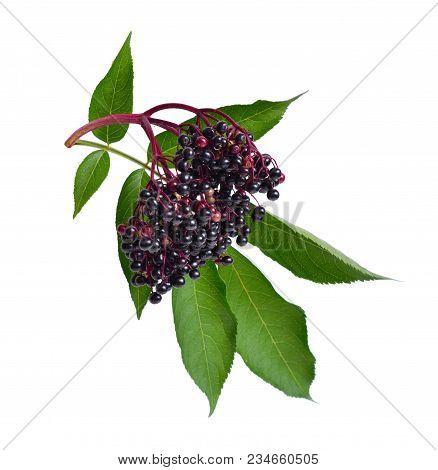 Sambucus . Common Names Include Elder, Elderberry, Black Elder, European Elder, European Elderberry