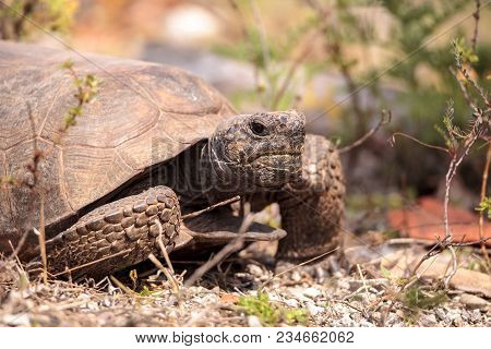 Florida Gopher Tortoise Gopherus Polyphemus Forages For Food In The Grass On Bonita Springs, Florida