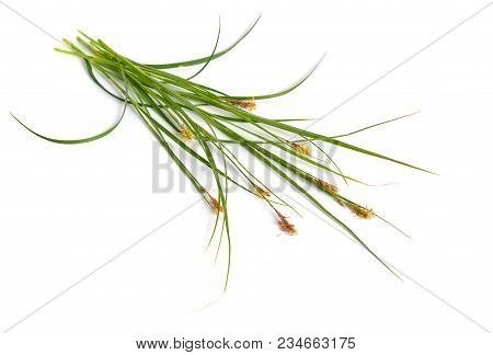 Carex humilis, also known as dwarf sedge. Isolated on white background. poster