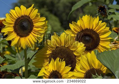 Bright Yellow Petalled Helianthus (sunflower) Flowers With Dark Centres Growing In Their Natural Fol