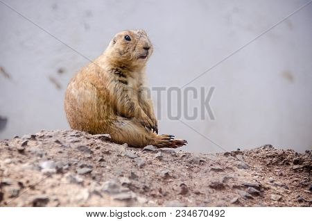 Prairie Dog Seated One Morning At The Zoo
