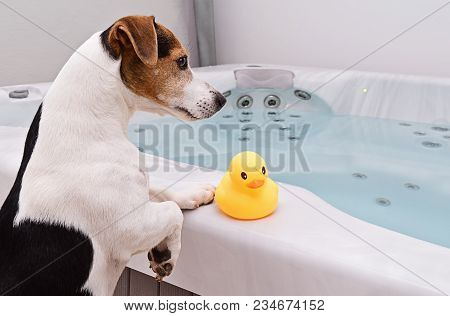 Adorable Dog Jack Russell Is Going To Take Bath Together With Small Rubber Yellow Duck. Pet Care And
