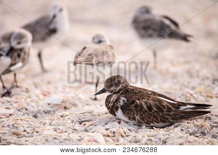 Nesting Ruddy turnstone wading bird Arenaria interpres along the shoreline of Barefoot Beach, Bonita Springs, Florida. poster