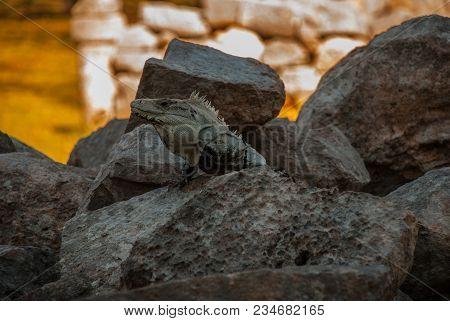 Lizard Sitting On Brown Stone Enjoying Sun. Uxmal, Mexico. Yucatan