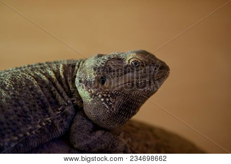 Photo Portrait Of A Green Iguana With A Blurred Back Ground