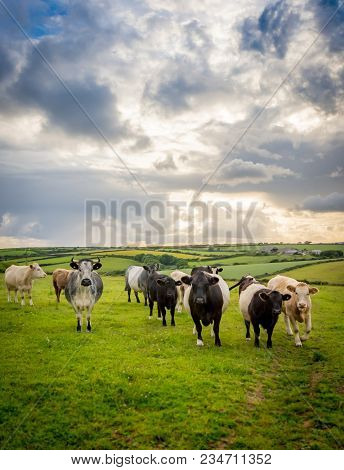 Cattle In Luscious Green Fields Of Peaceful English Countryside With Cloudy Bright Sky In Cornwall,