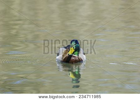 Close-up Of A Beautiful Relaxed Mallard Duck At The Lake. View To A Male Mallard Duck Reflected In T