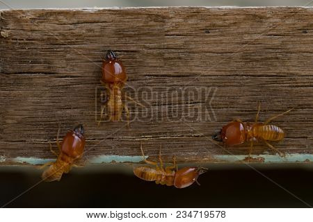 Termites Damage Home, Macro Close Up Termites On Wooden Background