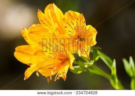 Alstroemeria flowers in yellow color. Also called Peruvian lily, or lily of the Incas with blurred gardenbackground