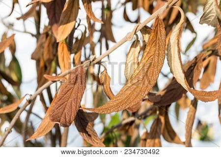 Wiltered Brown Leaves On Tree Branch. Frostbitten Dead Plant. Damaged By Early Frost Foliage.