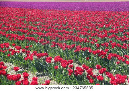 Brilliant Field Of Tulips In The Skagit Valley Of Washington State