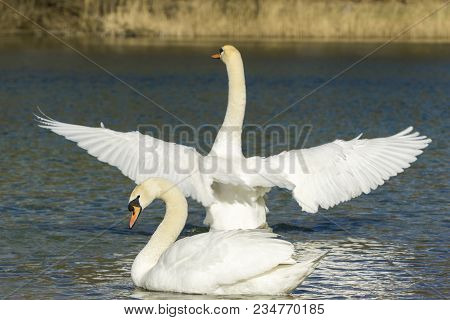 Close-up of two beautiful white Swans of which one has spread his Wings wide open. View to two graceful white Swans and Reeds at the Lake in Spring. Animal and Nature Backgrounds.