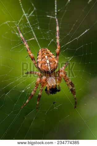 The Male Of Garden-spider Is Sitting With His Food In The Center Of The Web