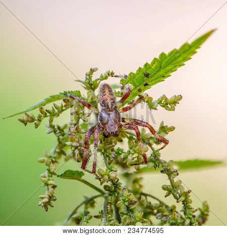 Portrait Of A Male Garden-spider, Which Sits In The Center Of The Nettle Inflorescence