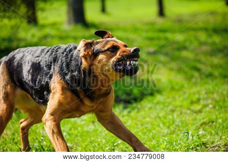 Angry Dog With Bared Teeth Outdoor In Summer