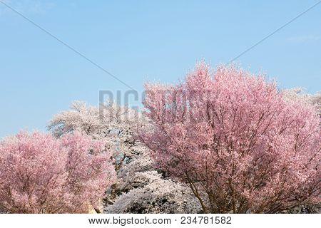 Somei Yoshino cherry blossom (back) and, Higan cherry (front) or rosebud cherry ( Prunus subhirtella / Prunus pendula) blossom flowering in full bloom in spring, with blue sky in background.