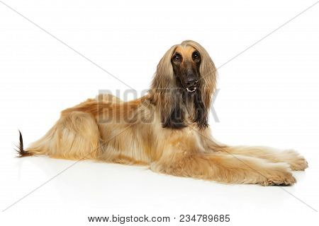 Afghan Hound Lying Down On White Background