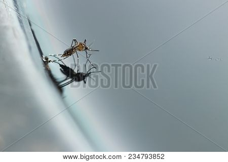 gnats; mosquitoes; larvae,Mosquito larvae in dirty water and young mosquitoes,Instar with shell mosquitoes.Mosquitoes is vector born disease Dengue fever, Dengue hemorrhagic fever. poster