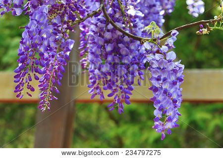 Purple Wisteria Flowers,beautiful Scenery Of Purple With Yellow Flowers And Buds Blooming In The Gar
