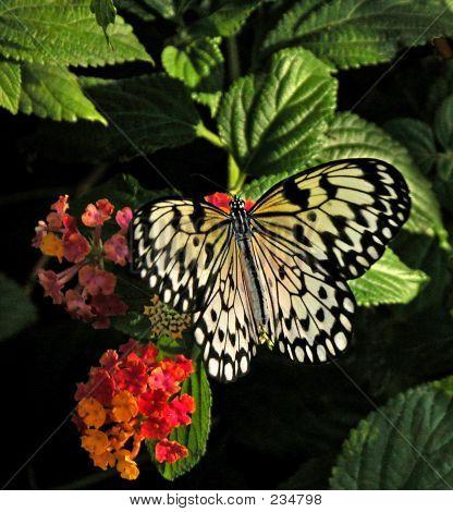 Idea Leucine Butterfly