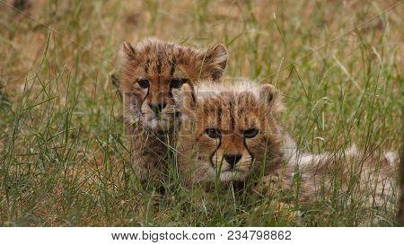 5 Months Old Cheetah Cubs In High Grass