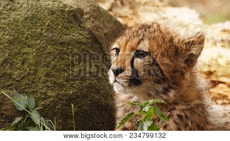 5 Months Old Cheetah Cub Looking To The Left