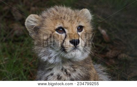 5 Months Old Cheetah Cub Looking Up Into The Air