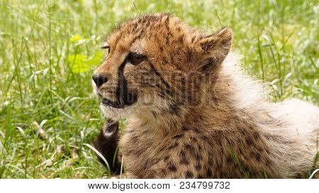 5 Months Old Cheetah Cub In The Grass Looking Up