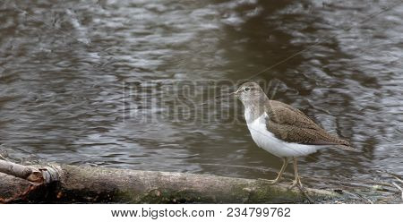 Solitary Sandpiper (tringa Solitaria) By The Water Edge. Wild Nature Of Ukraine. Free Nature. Bird I