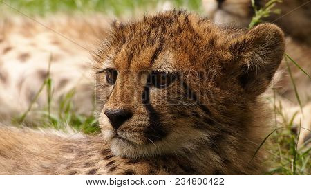 Close Up Of A Five Months Old Cheetah Cub