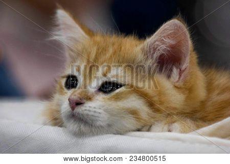 Funny Cute Red Kitten. Ginger Red Kitten Thinking. Long Haired Red Kitten. Sweet Adorable Sad Red Ki