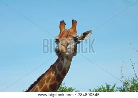 Portrait Of A Curious Giraffe Licking Close-up (giraffa Camelopardalis) Tongue Out With Blue Sky In