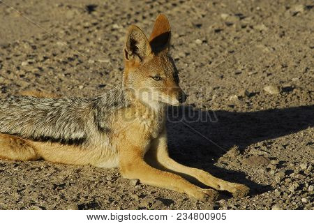 Jackal In The Middle Of The Road In Namibia