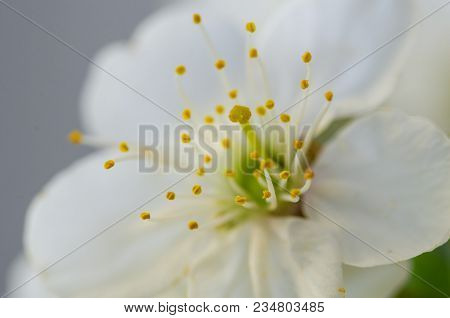 Spring Blassom And Anther, Close Up,macro,detail, Spring