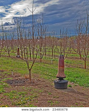 Huerto de cerezos jóvenes floraciones con el pote de la mancha