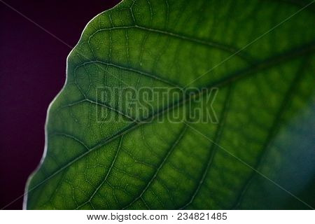 Green Leaf With Veins Visibly In Focus, Natural Leaf Veins, Leaf Veins, Close Up Of Leaf,