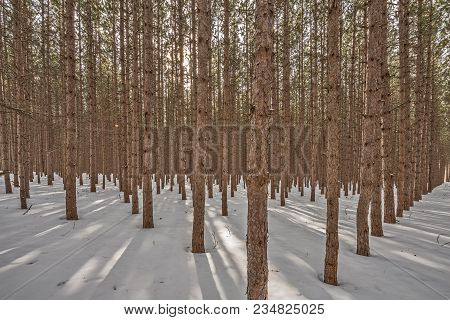 Forest Of Tall Pine Trees In Straight Rows Creating Shadows While Sunlight Filters Through