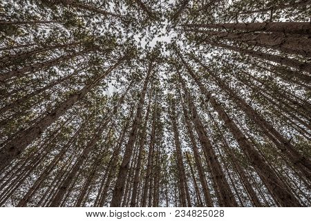 Red Pine Tree Tops In A Beautiful Forest...so Straight And Tall