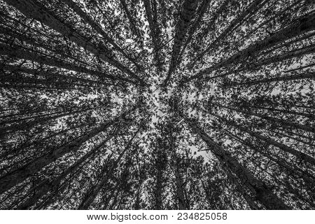 Looking Way Up At The Top Of Red Pine Trees In A Michigan Forest