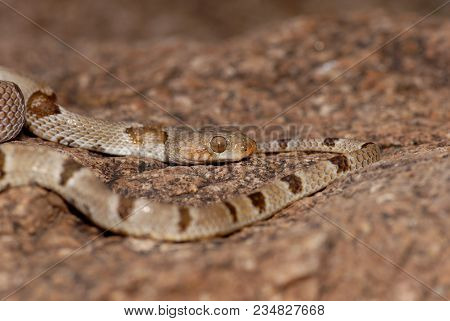 A Chihuahuan Lyresnake From West Texas, Near The Border Of Mexico.