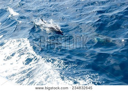 Dolphin Accelerating In Water Getting Ready To Jump, Southern California
