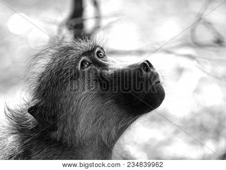 Close Up Of A Chachma Baboon (cape Baboon) Head Looking Up Upwards In Black & White With A Bokeh Nat