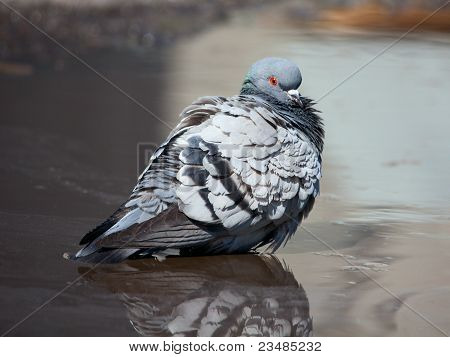 pigeon cleans its feathers in a muddy puddle in the spring poster