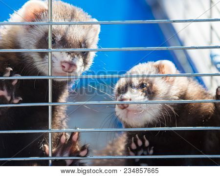 Ferret Locked In A Cage In A Zoo .