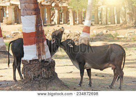 Tenderness Of Animals. A Cow Licks Another Cow, A Friend. Cows In India. Black Cows. Love, Care And