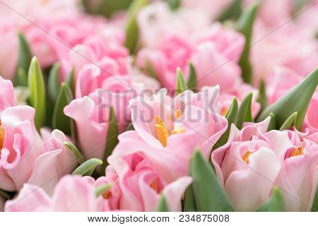 Tulips Of Pink Color. Big Buds. Floral Natural Backdrop. Unusual Flowers, Unlike The Others. Shallow
