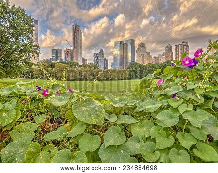 Central In Late Summer With Morning Glories In Bloom