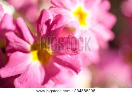 Close-up Defocused Sunlit Gently Pink Floral Background.