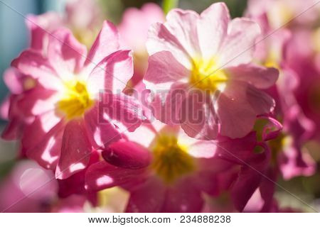 Background With Soft Focus Of Sunlit Gently Pink Flowers Bouquet.