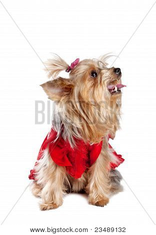 Yorkshire Terrier Dog In Red Clothes